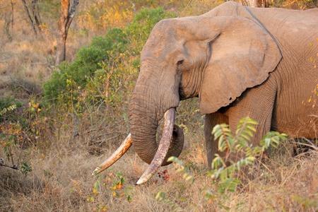 sabie sand: elephant, african, tusker, ivory, tusks, tusk, trunk, wildlife, africa, south africa, mammal, male, pachyderm, bull, sabie sand, nature, reserve, ecology, safari, wild, wilderness, tourism, travel, loxodonta, africana, animal, big, big5, large, endangered