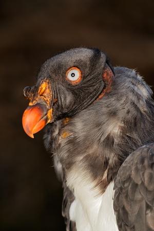 beak vulture: vulture, bird, american, king, portrait, beak, eye, animal, head, scavenger, nature, raptor, sarcoramphus, papa, america, wildlife, bald, bright, colourful, colorful, feathers, feathered, natural, stare, wild, fauna, vertical,