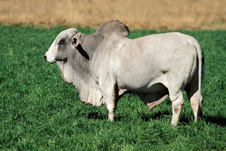 male bull: brahman, bull, beef, cattle, pasture, livestock, agriculture, farm, farming, farmland, green, pasture, grass, animal, male, rural, white, bovine, stud, countryside, domestic, field, fresh, land, mammal, zebu, nature, large, dewlap, hump, standing,  LANG_EVOIMAGES