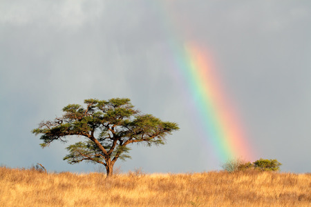 Desert landscape with a colorful rainbow and Acacia tree, Kalahari, South Africa