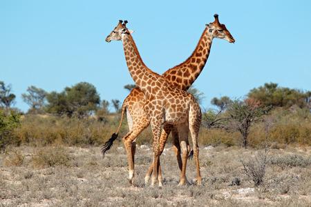 giraffa: Two giraffe bulls - Giraffa camelopardalis, South Africa