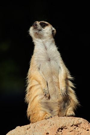 suricatta: Alert meerkat - Suricata suricatta - on guard on top of an anthill, South Africa