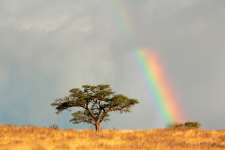 kalahari: Desert landscape with a colorful rainbow and Acacia tree, Kalahari, South Africa