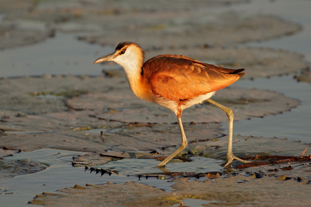 jacana: African Jacana - Actophilornis africana - on a water lily leaf, southern Africa