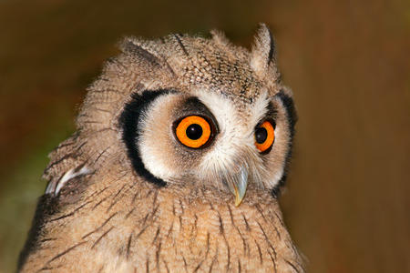 faced: Close-up portrait of a white-faced owl - Otis leucotis - with large orange eyes, South Africa