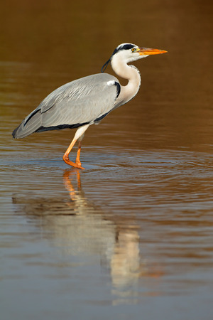 Grey heron - Ardea cinerea - in water with reflection, South Africa Stock Photo - 23190198