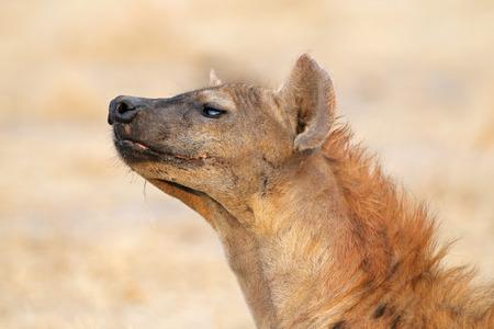 voracious: Portrait of a spotted hyena - Crocuta crocuta, Etosha National Park, Namibia LANG_EVOIMAGES