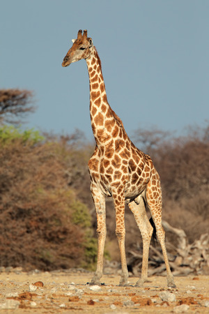 A large giraffe bull - Giraffa camelopardalis, Etosha National Park, Namibia photo
