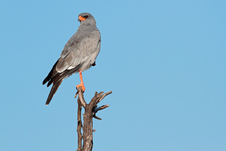 chanting: Pale Chanting goshawk - Melierax canorus - perched on a branch, South Africa LANG_EVOIMAGES