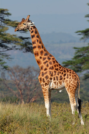 rare animals: Rare Rothschilds giraffe - Giraffa camelopardalis rothschildi, Lake Nakuru National Park, Kenya LANG_EVOIMAGES