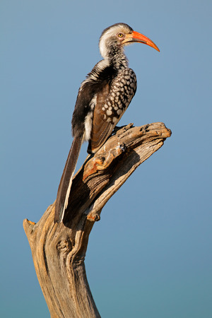 billed: Red-billed hornbill - Tockus erythrorhynchus - perched on a branch, South Africa