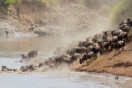 taurinus: Migratory blue wildebeest - Connochaetes taurinus - crossing the Mara river, Masai Mara National Reserve, Kenya