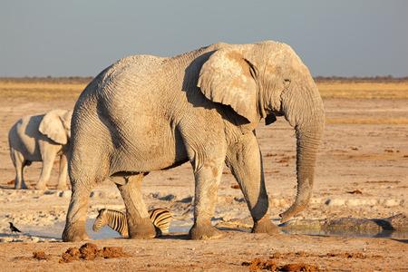 Large African bull elephant - Loxodonta africana, Etosha National Park, Namibia Stock Photo - 24276843