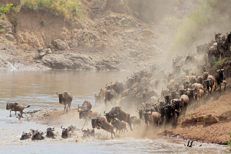 taurinus: Migratory blue wildebeest - Connochaetes taurinus - crossing the Mara river, Masai Mara National Reserve, Kenya