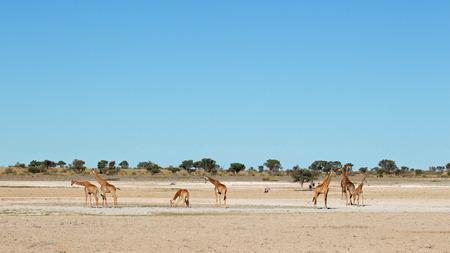 pozo de agua: Grupo de jirafas - camelopardalis Giraffa - en una charca, Kalahari, Sudáfrica