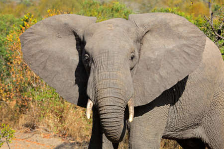 big ear: African elephant - Loxodonta africana - with large flapping ears, South Africa Stock Photo