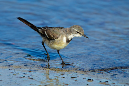Cape wagtail - Motacilla capensis - foraging in shallow water, South Africa Stock Photo - 24690239