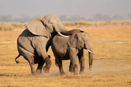 animal mating: African elephants - Loxodonta africana - mating, Amboseli National Park, Kenya