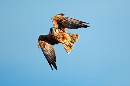 lanner: Lanner falcon - Falco biarmicus - in flight against a blue sky, South Africa