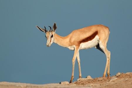 springbok: Springbok antelope in Etosha National Park, Namibia