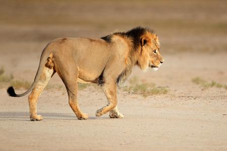 male animal: Big male African lion - Panthera leo - walking, Kalahari, South Africa LANG_EVOIMAGES
