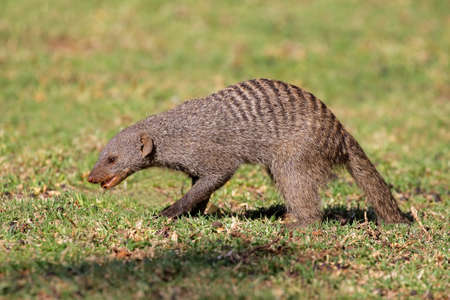mongoose: Banded mongoose