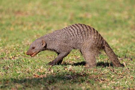 mongoose: Banded mongoose