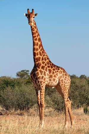 A large giraffe bull