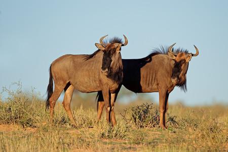 taurinus: Blue wildebeest - Connochaetes taurinus, Kalahari desert, South Africa LANG_EVOIMAGES