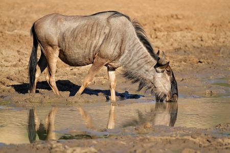 taurinus: Blue wildebeest - Connochaetes taurinus, drinking water, Pilanesberg National Park, South Africa