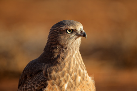chanting: Immature Pale Chanting goshawk - Melierax canorus, Kalahari desert, South Africa