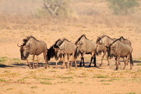 kalahari: Blue wildebeest - Connochaetes taurinus - walking in dry riverbed, Kalahari desert, South Africa