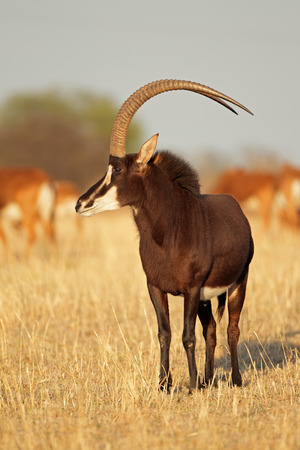 sable: Male sable antelope - Hippotragus niger - with magnificent horns, South Africa LANG_EVOIMAGES