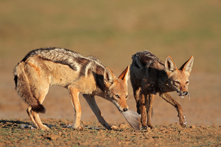 kalahari: A pair of black-backed jackals - Canis mesomelas - eating a dove, Kalahari desert, South Africa