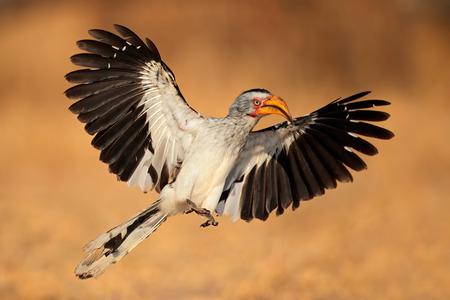 south african birds: Yellow-billed hornbill - Tockus flavirostris - landing with open wings, South Africa