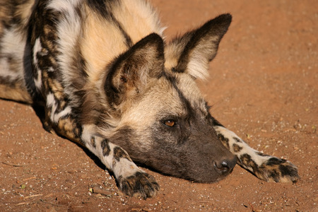 lycaon pictus: Portrait of an African wild dog or painted hunting dog - Lycaon pictus, South Africa