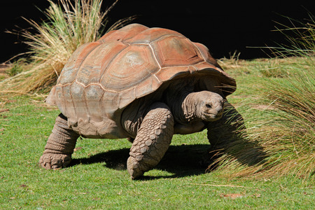 Giant Galapagos tortoise - Chelonoidis nigra Stock Photo