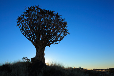 quiver: Silhouette of a quiver trees - Aloe dichotoma - at sunset, Namibia, southern Africa