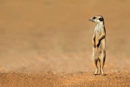 Alert meerkat - Suricata suricatta - standing on guard, Kalahari desert, South Africa photo