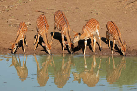 Female Nyala antelopes - Tragelaphus angasii - drinking water, Mkuze game reserve, South Africa photo