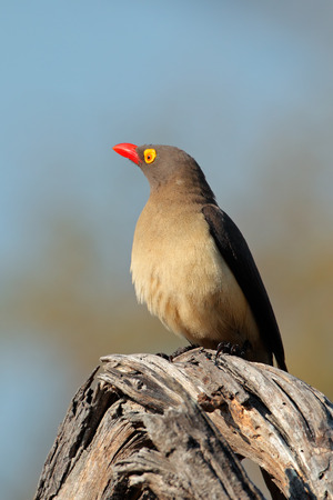 oxpecker: Red-billed oxpecker - Buphagus erythrorhynchus - perched on a branch,  South Africa