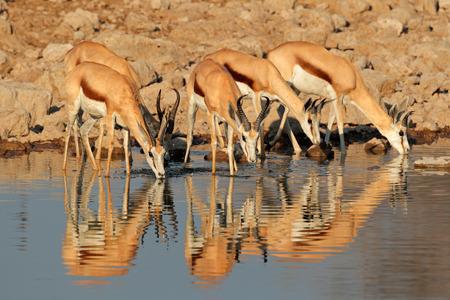 antidorcas: Springbok antelopes (Antidorcas marsupialis) drinking at a waterhole, Etosha National Park, Namibia