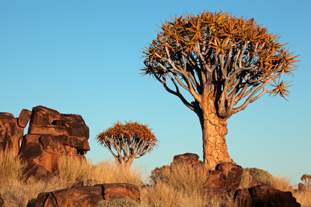 dichotoma: Desert landscape with granite rocks and quiver trees (Aloe dichotoma), Namibia