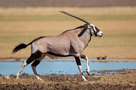 pozo de agua: Antílope orix (Oryx gazella) en una charca en marcha, del desierto de Kalahari, Sudáfrica LANG_EVOIMAGES