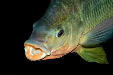 freshwater fish: Portrait of an African Nembwe fish - Serranochromis robustus, Zambezi river, southern Africa