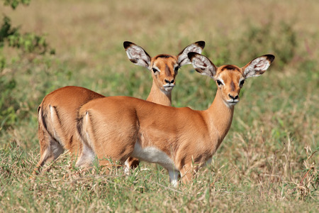 nakuru: Two small impala antelope (Aepyceros melampus) lambs, Lake Nakuru National Park, Kenya