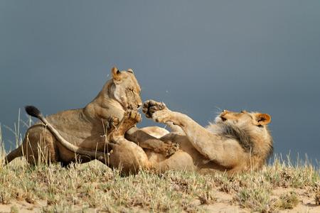 hunter playful: Playful young African lions (Panthera leo), Kalahari desert, South Africa
