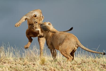 panthera leo: Playful young African lions (Panthera leo), Kalahari desert, South Africa