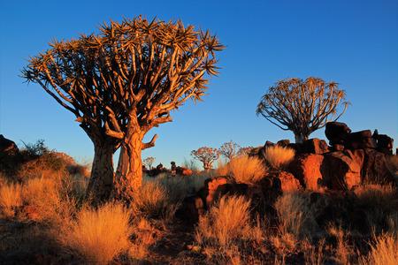 quiver: Woestijn landschap met granieten rotsen en trillen bomen (Kokerboom), Namibië LANG_EVOIMAGES