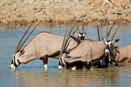 pozo de agua: Antílopes del Gemsbok - gazella Oryx - agua potable, el Parque Nacional de Etosha, Namibia